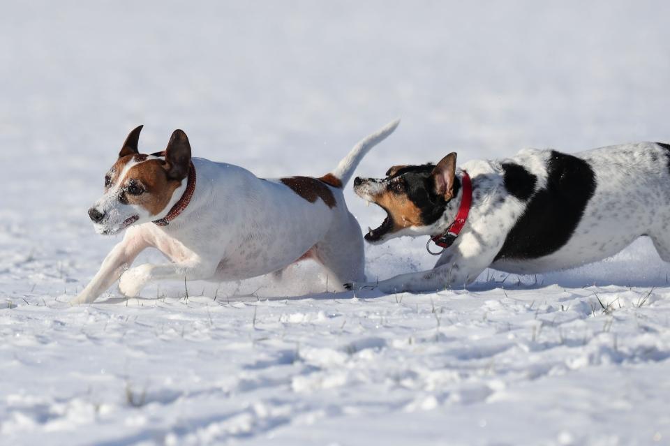 Zwei Hunde spielen im Schnee