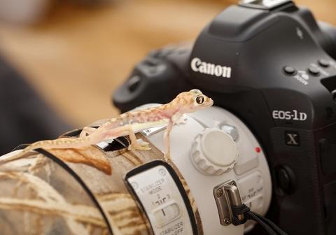 Gecko auf Kamera