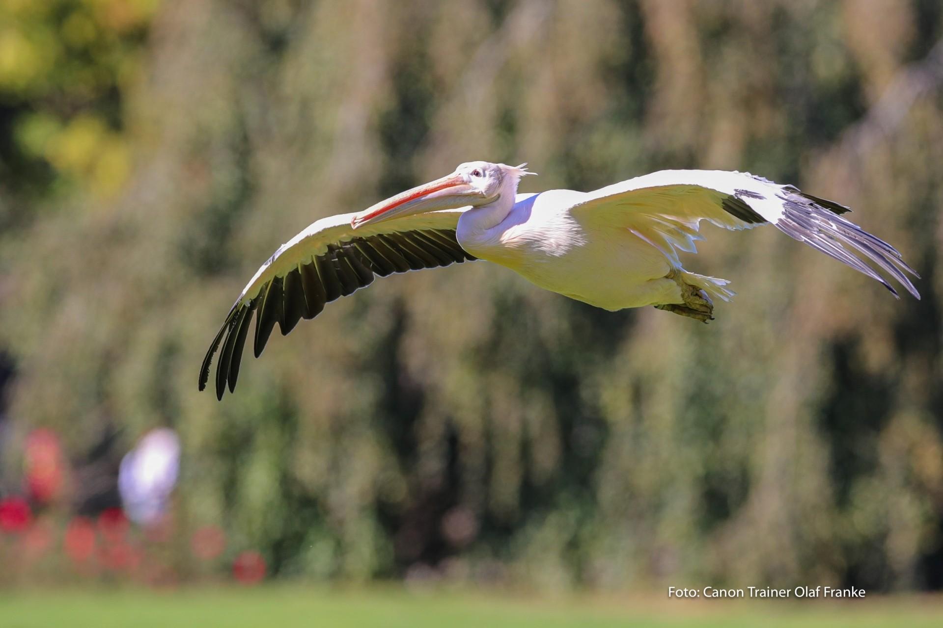 Vogelflug im Weltvogelpark Walsrode - Schwerpunkt AF-System - Canon Academy Natur-, Tier- und Makro