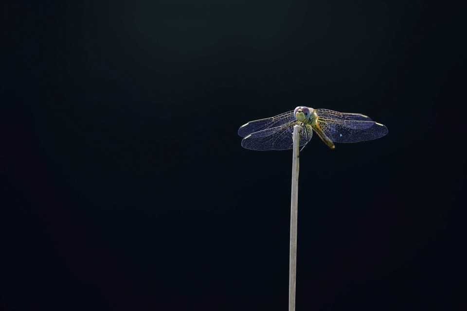 Petra Selbertinger Libelle
